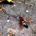 Cicada Killer Wasp (Eastern Cicada Killer Wasp)