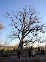 Photo: Petőfi-fa - Dömsödön, a Duna partján található a hatalmas, kb. 350 éves mocsári tölgy