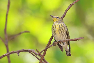 Photo: Cape May Warbler
