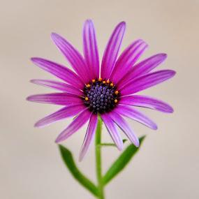 by Arsalan Sandhila - Flowers Single Flower