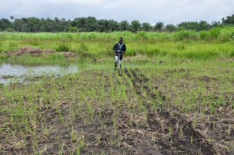 Photo: 1st testing of weeders in the first SRI experimental plot (farmer) in Tormabum, in Bo District, SW Sierra Leone. [Photo by Erika Styger, July 2012]