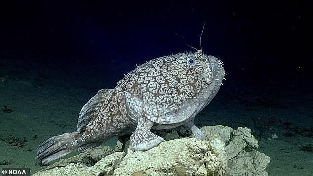 Uma equipe de pesquisadores do Golfo do México gravou novas imagens de um tamboril raro de Schaefer (foto acima), que pode usar suas nadadeiras como se fossem pés