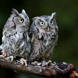 Screech Owls by Jen St. Louis - Animals Birds ( eastern screech owl, raptor, owl, bird of prey, bird, screech owls, captive, owls, eastern screech owls,  )