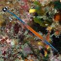 Janss' pipefish