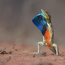 fan-throated lizard by Raj Dhage - Animals Reptiles