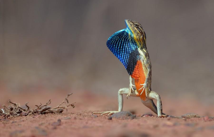fan-throated lizard by Raj Dhage - Animals Reptiles