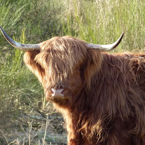Young but impressive by Wouter Termote - Animals Other Mammals ( scottish, cow, highlander. )