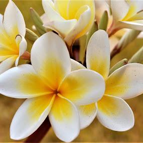 Yellow Blossoms, Tanzania by Sheri Fresonke Harper - Flowers Tree Blossoms ( macro, tree, yellow, tanzania, blossom,  )