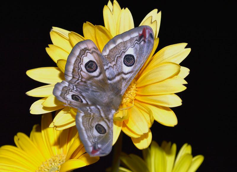 Farfallone! di Carmelo Baglivo