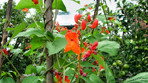 Photo: Fasole (Phaseolus vulgaris) - Str. Gutuiului - 2013.07.15 Album http://ana-maria-catalina.blogspot.ro/2016/06/fasole-phaseolus-vulgaris.html