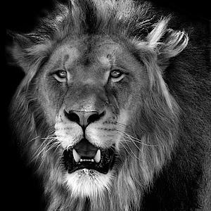 Lion Ken Portrait12 final2 blk bw.JPG