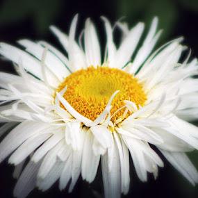 Daisy by Sona Decker - Flowers Single Flower (  )