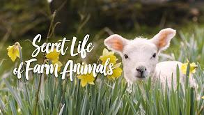 Secret Life of Farm Animals thumbnail