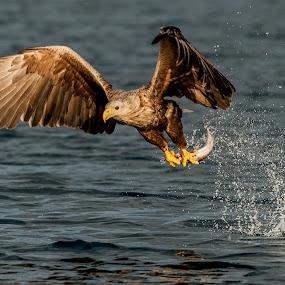 Fishing white tailed eagle by Dennis Hallberg - Animals Birds ( bird, bird of prey, eagle, white tailed eagle, fishing eagle,  )