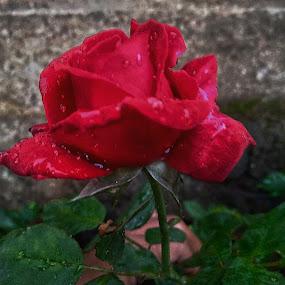 Bunga mawar by Eka Astiputra - Flowers Single Flower ( beautiful, flower )
