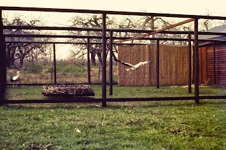 Photo: De uitwenrennen met een grondnest, voor het geval de ooievaars gaan broeden. Op de achtergrond nog de boomgaard. Deze foto is uit de begin jaren '80 bij het buitenstation in Herwijnen.