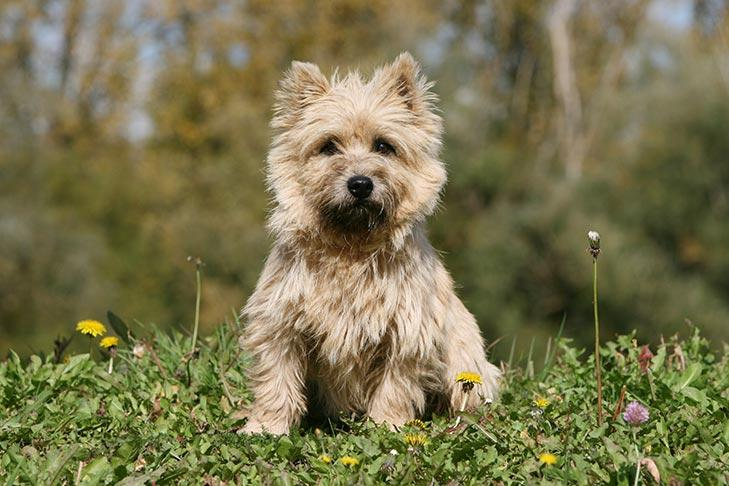 Cairn Terrier Dog Breed Information