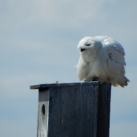 Snowy Owl Just Before Take Off by Kristine Nicholas - Novices Only Wildlife ( birdhouse, blue sky, owl, bird of prey, nature, birds, birding, birds of prey, blue, white, bird house, bird photography, bird, owls, wild, snowy, wildlife,  )