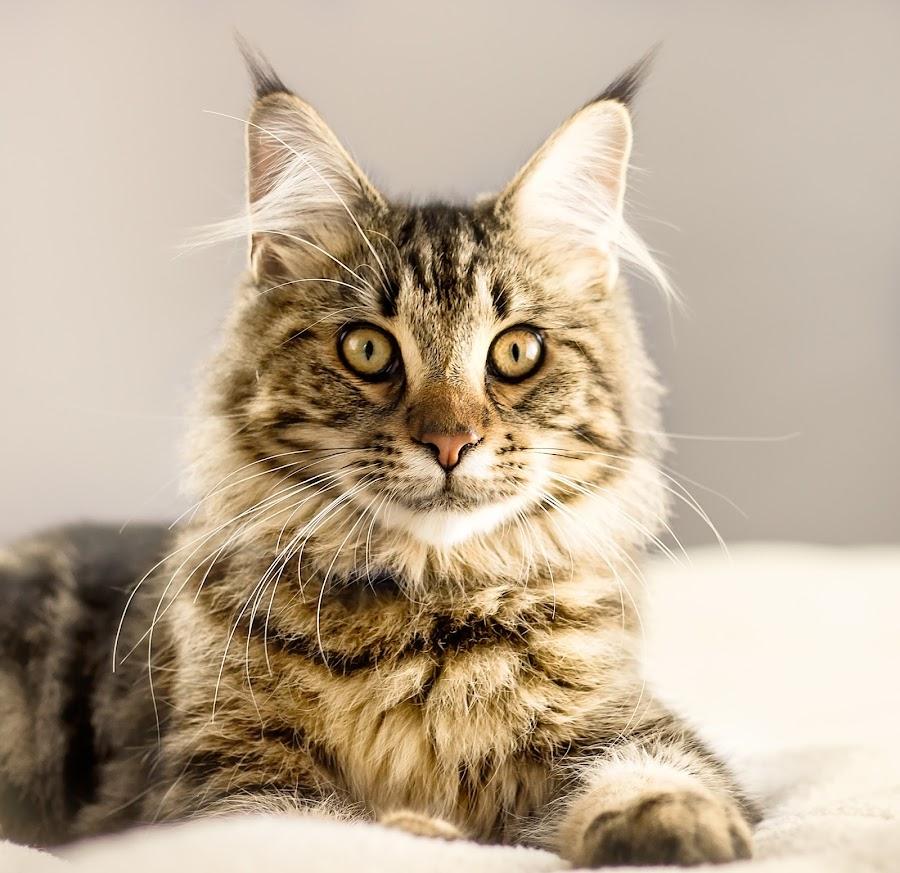 Maine Coon Portrait  by Vicki Roebuck - Animals - Cats Portraits ( pet portraits, cat eyes, maine coon, vicki roebuck photography, catsofinstagram, photography, portrait )