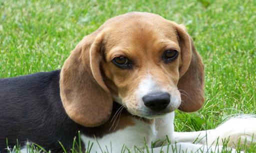 Beagles Puppies Puzzles