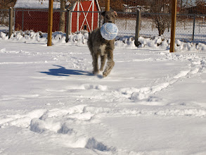 Photo: 02-11-2011 Wendy playing in her first snow with felt covered blue ball 8 months old