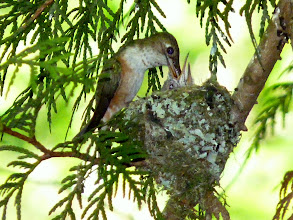 Photo: When feeding chicks she sticks her long beak right down their throat.