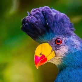 Big Blue by Ken Nicol - Animals Birds (  )