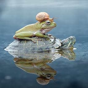 Turtle, Frog, Snail, by Andri Priyadi - Animals Amphibians ( animals, frog, indonesia, tree frog, nikkor, amphibian, nikon, snail, amphibians, turtle, nikon d90, animal )