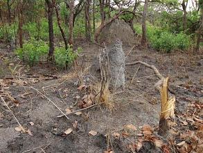 Photo: A snare pole with clear signs of struggle Uma vara de armadilha com sinais evidentes de luta