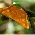 Eumelea biflavata 赤粉尺蛾