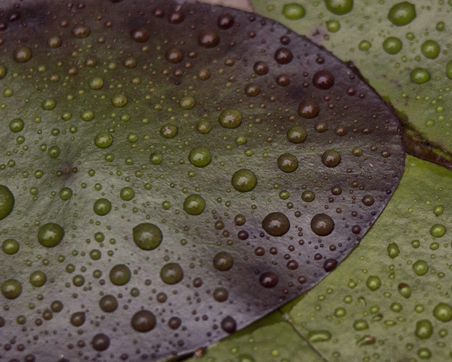 Wet by Patrick Morgan - Artistic Objects Other Objects ( water, purple, green, fine art, wet, leaves, lilly )