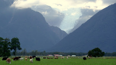 Photo: Fox Glacier is very close to where we stayed last night.  Over the last few decades there have become fewer sheep and more cows in New Zealand.