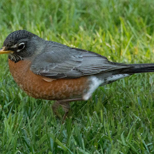 Backyard Robin.jpg