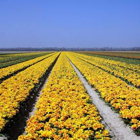 Tulip field by Anita Berghoef - Landscapes Prairies, Meadows & Fields ( yellow flowers, field, tulip, nursery, tulips, flowers, landscape, flower,  )