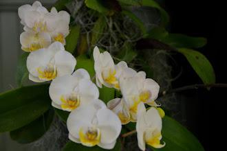 Photo: Phalaenopsis