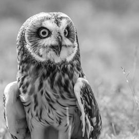 SE Owl by Garry Chisholm - Black & White Animals ( raptor, bird of prey, nature, short eared owl, garry chisholm )