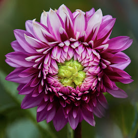 Dahlia 9762~ 1 by Raphael RaCcoon - Flowers Single Flower