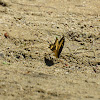 Papilio Rumiko Butterfly