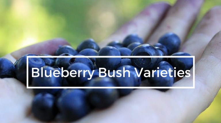 Blueberry Bush Varieties