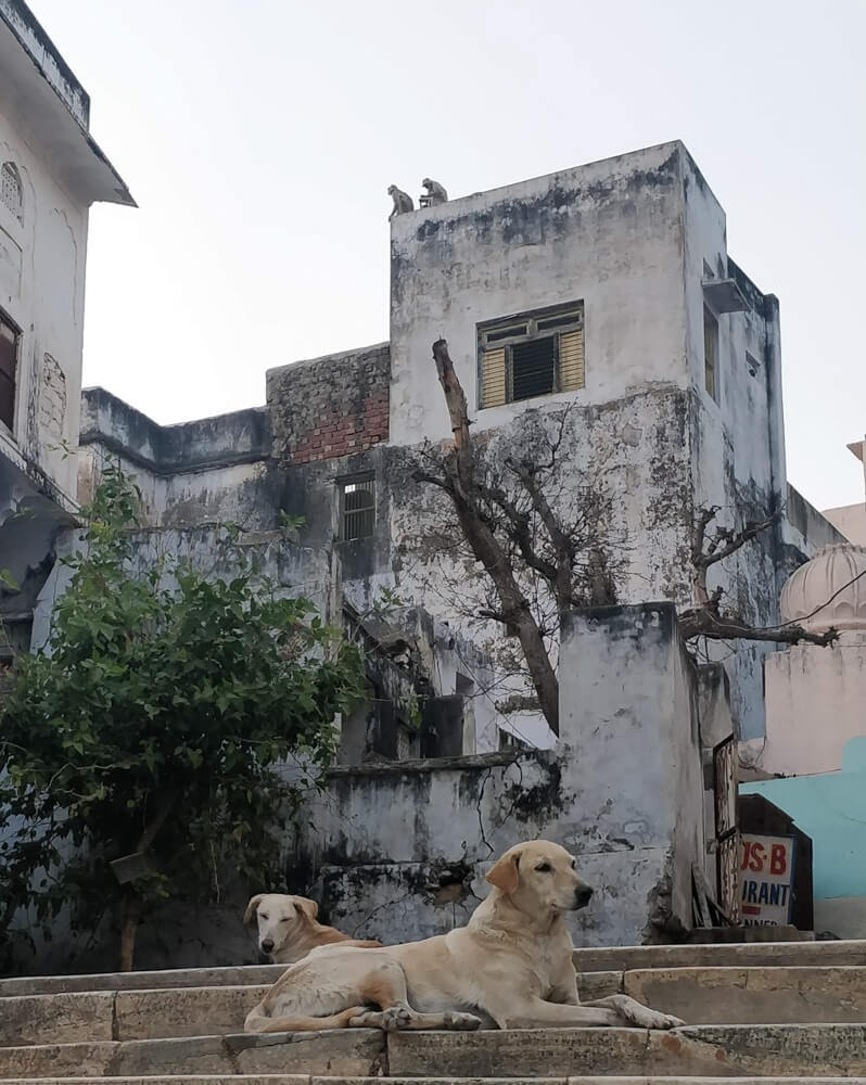 monkeys+dogs+pushkar+fair+rajasthan
