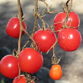 BUNCH OF TOMATOES by Aida Neves - Food & Drink Fruits & Vegetables