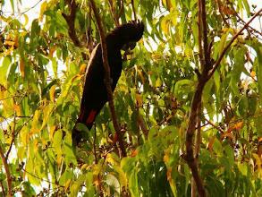 Photo: AUSTRALIE-Cacatoès banksien est un Cacatoès très rare