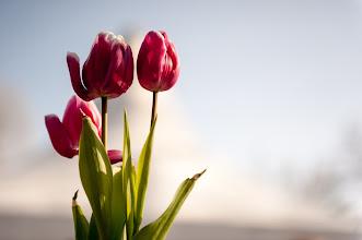 Photo: 14.03.30 - some tulips