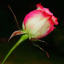 Rose 0023 by Gérard CHATENET - Flowers Single Flower