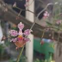 "Orchid ""oreja de burro"""