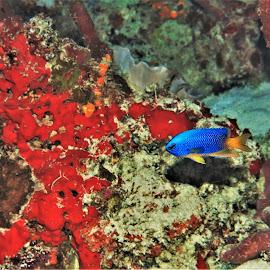 by Phil Bear - Animals Fish ( reef, damselfish, coral, fish, coral reef, maldives )