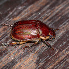 Shining Leaf Chafer
