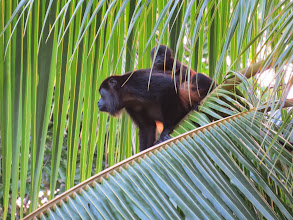 Photo: Howler monkeys are aptly named because they often serve as your alarm clock but set at 4:30am!