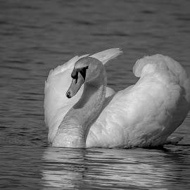 Swan by Debbie Quick - Black & White Animals ( debbie quick, nature, hudson river, swan, mute swan, debs creative images, water, waterfowl, outdoors, bird, animal, black and white, wild, hudson valley, wildlife )