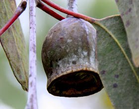 Photo: Year 2 Day 140 - Seed Pod on a Tree